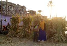 "Photo of موسم حصاد الخير .. أطفال ""المراشدة"" يساعدون أسرهم من جمع ""القالوح"" وبيعه.. صور"