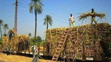 Photo of تعليمات هامة لمزارعي القصب بدشنا.. تعرف عليها